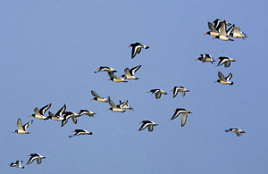 Oystercatchers (Haematopus ostralegus) in flight, Grossmorsum, Sylt, Germany, April 2009  -  Wild Wonders of Europe / Novák