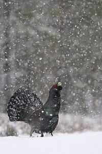 Capercaillie (Tetrao urogallus) male displaying in snow, Cairngorms NP, Scotland, February 2009 - Wild Wonders of Europe / Cairns