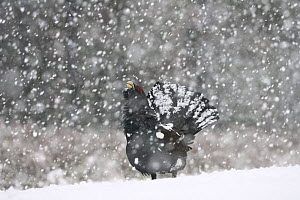 Capercaillie (Tetrao urogallus) male displaying in heavy snowfall, Cairngorms NP, Scotland, February 2009 - Wild Wonders of Europe / Cairns