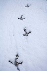 Capercaillie (Tetrao urogallus) footprints in snow, Cairngorms NP, Scotland, February 2009 - Wild Wonders of Europe / Cairns