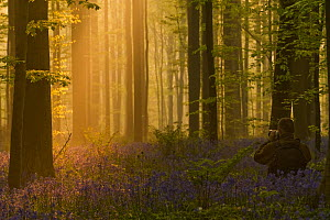 Photographer, Philippe Moes, photographing dawn light, in Beech wood, Hallerbos, Belgium, April 2009 - Wild Wonders of Europe / Biancar