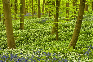 Wild garlic (Allium ursinum) and Bluebell (Hyacinthoides non-scripta / Endymion non-scriptum) carpet in Beech wood, Hallerbos, Belgium, April 2009 - Wild Wonders of Europe / Biancarelli