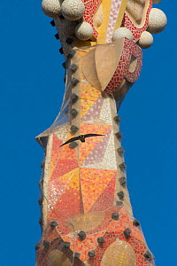Peregrine falcon (Falco peregrinus) flying in front of one of the spires of the Sagrada familia cathedral, designed by Gaudi, Barcelona, Spain, April  -  Wild  Wonders of Europe / Geslin