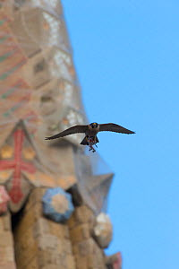 Peregrine falcon (Falco peregrinus) flying by the Sagrada familia cathedral carrying prey remains, Barcelona, Spain, April  -  Wild  Wonders of Europe / Geslin
