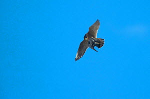 Peregrine falcon (Falco peregrinus) in flight carrying prey, Barcelona, Spain, April  -  Wild  Wonders of Europe / Geslin