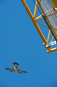 Peregrine falcon (Falco peregrinus) flying past a crane, Barcelona, Spain, April  -  Wild  Wonders of Europe / Geslin