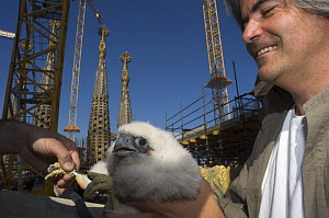 Peregrine falcon (Falco peregrinus) chick being ringed, Sagrada familia cathedral, Barcelona, Spain, April 2009  -  Wild Wonders of Europe / Geslin