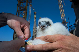 Peregrine falcon (Falco peregrinus) chick with two rings, Sagrada familia cathedral, Barcelona, Spain, April  -  Wild  Wonders of Europe / Geslin