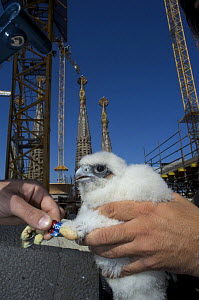 Peregrine falcon (Falco peregrinus) chick with new rings, Sagrada familia cathedral, Barcelona, Spain, April 2009 - Wild Wonders of Europe / Geslin