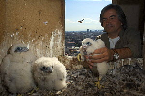 Peregrine falcon (Falco peregrinus) chicks, one being put back in nest after being ringed, Sagrada familia cathedral, Barcelona, Spain, April 2009 - Wild Wonders of Europe / Geslin