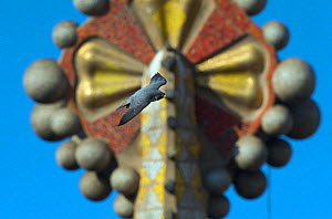 Peregrine falcon (Falco peregrinus) flying past one of the Sagrada familia cathedral spires, Barcelona, Spain, April  -  Wild  Wonders of Europe / Geslin