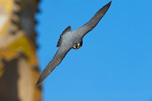 Peregrine falcon (Falco peregrinus) in flight, Barcelona, Spain, April  -  Wild  Wonders of Europe / Geslin