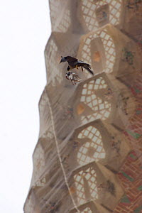 Peregrine falcon (Falco peregrinus) flying past a spire of the Sagrada familia cathedral carrying prey (pigeon) in its beak, Barcelona, Spain, April  -  Wild  Wonders of Europe / Geslin