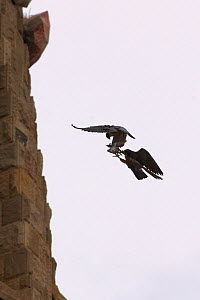 Silhouette of Peregrine falcon (Falco peregrinus) in flight, male passing pigeon prey to female for her to feed the chicks, Sagrada familia cathedral, Barcelona, Spain, April  -  Wild  Wonders of Europe / Geslin