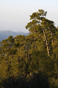 Pine forest in Troodos mountains, Cyprus, April 2009  -  Wild Wonders of Europe / Lilja