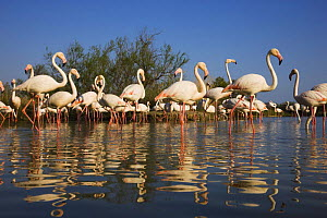 Greater flamingos (Phoenicopterus roseus) in lagoon, Camargue, France, April 2009 - Wild Wonders of Europe / Allofs