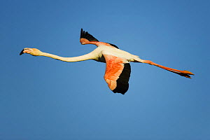 Greater flamingo (Phoenicopterus roseus) in flight, Camargue, France, April 2009  -  Wild Wonders of Europe / Allofs