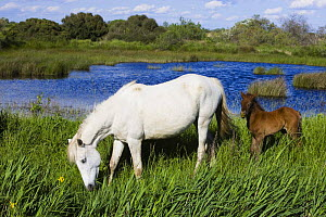 White Camargue horse, mare with brown foal, Camargue, France, April 2009  -  Wild Wonders of Europe / Allofs