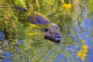 Coypu / Nutria (Myocastor coypus) swimming, Camargue, France, April 2009 - Wild Wonders of Europe / Allofs