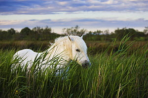 White Camargue horse, stallion in tall grass, Camargue, France, April 2009 - Wild Wonders of Europe / Allofs
