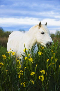 White Camargue horse grazing amongst Yellow flag irises, Camargue, France, April 2009 - Wild Wonders of Europe / Allofs