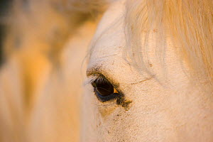 White Camargue horse close-up of head, Camargue, France, May 2009 - Wild Wonders of Europe / Allofs