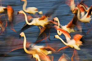 Greater flamingos (Phoenicopterus roseus) taking off from lagoon, Camargue, France, May 2009 - Wild Wonders of Europe / Allofs