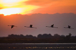 Greater flamingos (Phoenicopterus roseus) in flight, silhouetted against sky at sunrise, Camargue, France, May 2009 - Wild Wonders of Europe / Allofs
