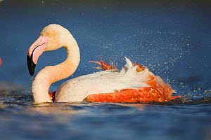 Greater flamingo (Phoenicopterus roseus) bathing, Pont Du Gau, Camargue, France, May 2009  -  Wild Wonders of Europe / Allofs