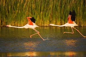 Two Greater flamingos (Phoenicopterus roseus) taking off from lagoon, Camargue, France, May 2009 - Wild Wonders of Europe / Allofs