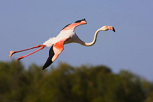 Greater flamingo (Phoenicopterus roseus) in flight, Camargue, France, May 2009  -  Wild Wonders of Europe / Allofs