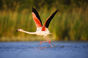 Greater flamingo (Phoenicopterus roseus) taking off from lagoon, Camargue, France, May 2009  -  Wild Wonders of Europe / Allofs