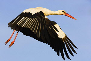 White stork (Ciconia Ciconia) flying, Pont du Gau, Camargue, France, May 2009  -  Wild Wonders of Europe / Allofs