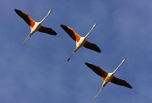 Three Greater flamingos (Phoenicopterus roseus) in flight, Camargue, France, May 2009 - Wild Wonders of Europe / Allofs