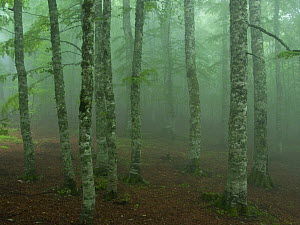 European beech tree (Fagus sylvatica) forest in light mist, Pollino National Park, Basilicata, Italy, June 2009  -  Wild Wonders of Europe / Müller