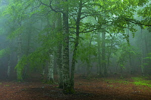 European beech tree (Fagus sylvatica) forest in mist, Pollino National Park, Basilicata, Italy, June 2009  -  Wild Wonders of Europe / Müller
