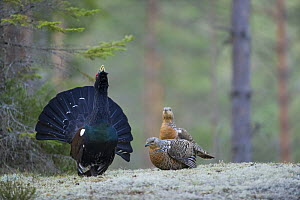 Capercaillie (Tetrao urogallus) cock displaying to two females in forest, Bergslagen, Sweden, April 2009  -  Wild Wonders of Europe / E. Haarberg