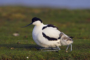 Avocet (Recurvirostra avosetta) with chick, Texel, Netherlands, May 2009  -  Wild Wonders of Europe / Peltomä