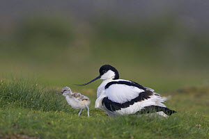 Avocet (Recurvirostra avosetta) with chick, Texel, Netherlands, May 2009 Wild Wonders kids book.  -  Wild Wonders of Europe / Peltomä