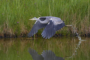 Grey heron (Ardea cinerea) in flight just after taking off, Texel, Netherlands, May 2009  -  Wild Wonders of Europe / Peltomäki