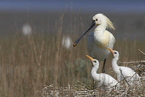 Spoonbill (Platalea leucorodia) at nest with two chicks, Texel, Netherlands, May 2009  -  Wild Wonders of Europe / Peltomäki