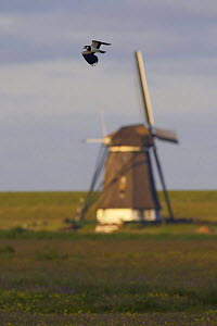 Lapwing (Vanellus vanellus) flying past windmill, Texel, Netherlands, May 2009  -  Wild Wonders of Europe / Peltomäki