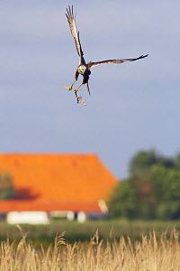 Marsh harrier (Circus aeruginosus) in flight carrying stick for nest, Texel, Netherlands, May 2009  -  Wild Wonders of Europe / Peltomäki