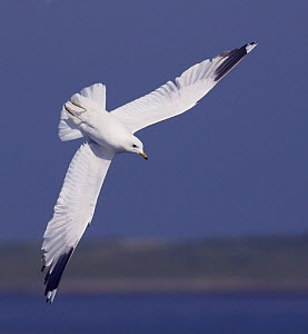 Common gull (Larus canus) diving in flight, Texel, Netherlands, May 2009  -  Wild Wonders of Europe / Peltomäki