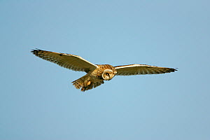 Short eared owl (Asio flammeus) hovering while hunting in flight, Norfolk, UK, January  -  Alan Williams