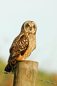 Short eared owl (Asio flammeus) on roadside post, Norfolk, UK, January  -  Alan Williams