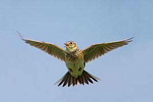 Skylark (Alauda arvensis) singing while hovering, Cheshire, UK, April Not available for ringtone/wallpaper use.  -  Alan Williams
