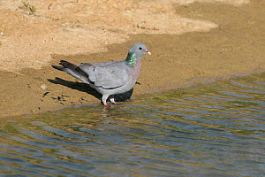Stock dove (Columba oenas) at lake edge to drink, Essex, UK, August  -  Alan Williams