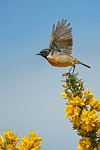 Stonechat (Saxicola torquata) male taking off from Gorse, Suffolk, UK, May  -  Alan Williams