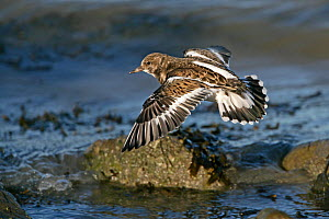 Turnstone (Arenaria interpres) in flight at tide line in winter plumage with tail spread for landing, Whitstable Bay, Kent, UK, December  -  Alan Williams